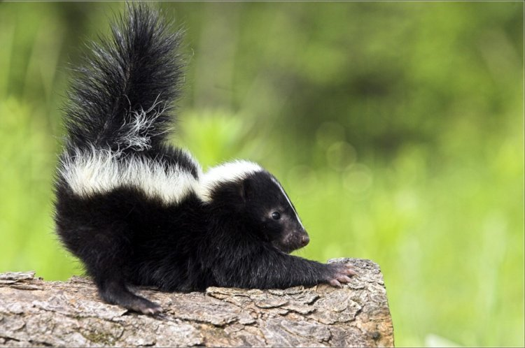 Watch: This is what Happens when you Try Catch a Skunk