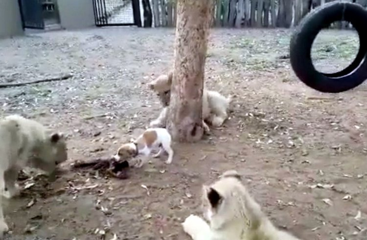 See How Puppy Dog Takes On Lion Cubs