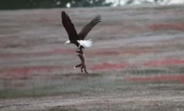 Watch: Eagle Attempts to Steal Rabbit from Fox in Mid-Air