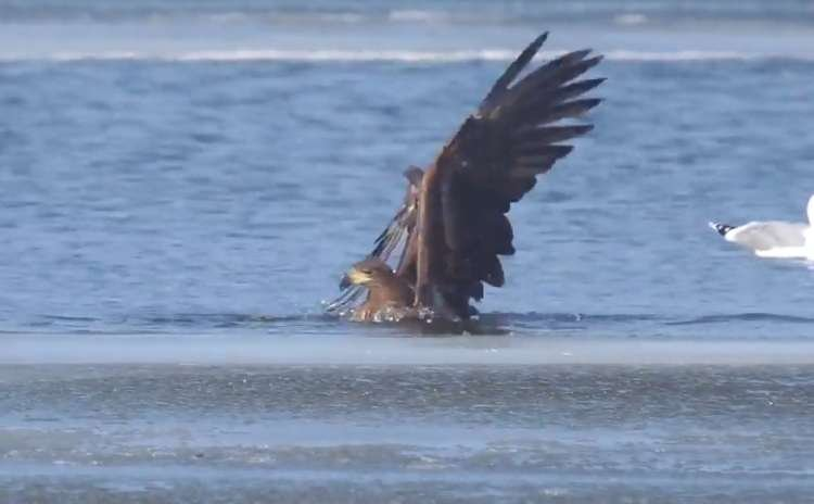 See How Eagle Goes Fishing – Incredible