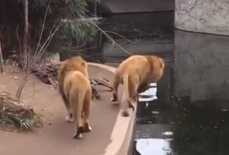 Watch: Lion Falls into the Water