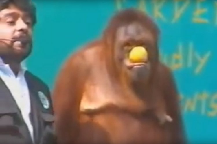 Watch: Funny Orangutan Magic Show