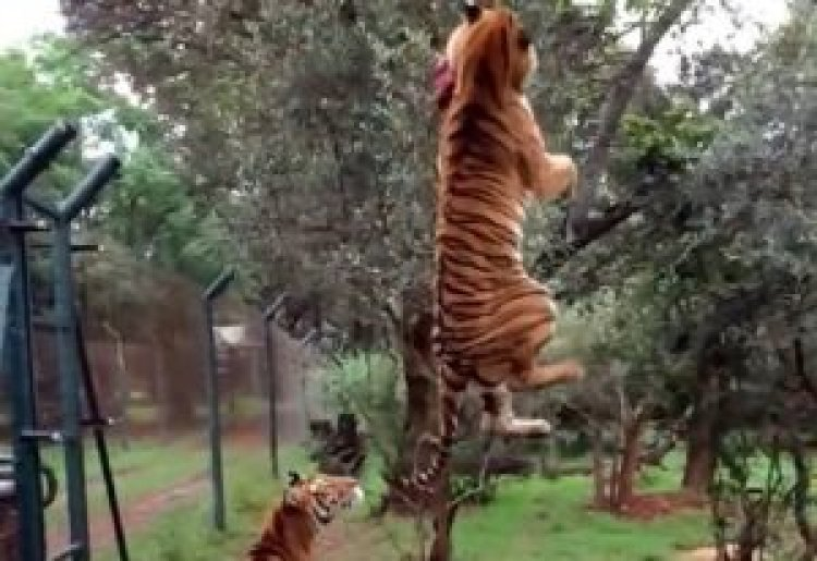 Watch: Tiger Jumps High in the Air to Catch Meat