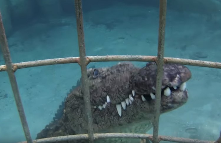 Watch: Cage Diving with Crocodiles