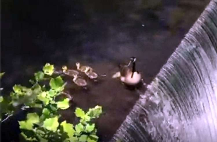 How Did this Family of Ducks Cross the Waterfall? Watch and Find Out