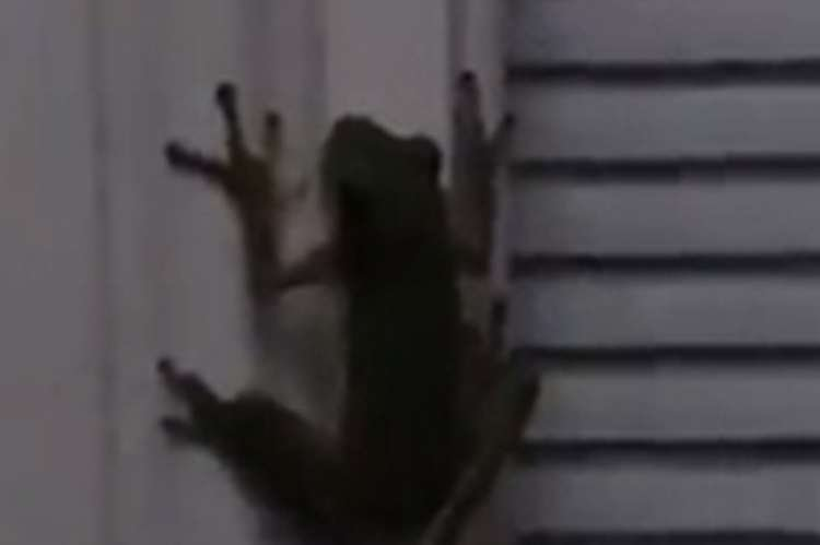 Unbelievable Footage: Frog Swallows a Firefly