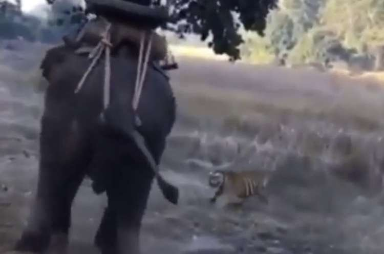 Watch: Tiger Surprises a Man Riding an Elephant