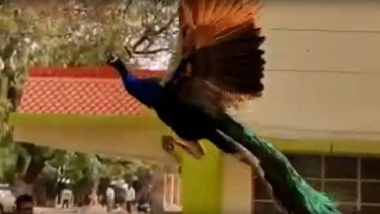 Have You Ever Seen a Flying Peacock? Watch