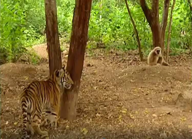 Monkey Plays 'Catch Me if You Can' with Tiger Cubs - Watch