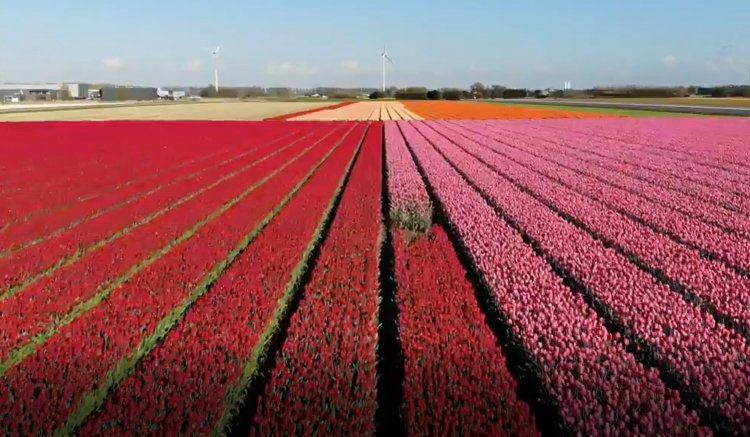 Amazing Drone Footage of Colorful Tulip Fields in The Netherlands - Watch