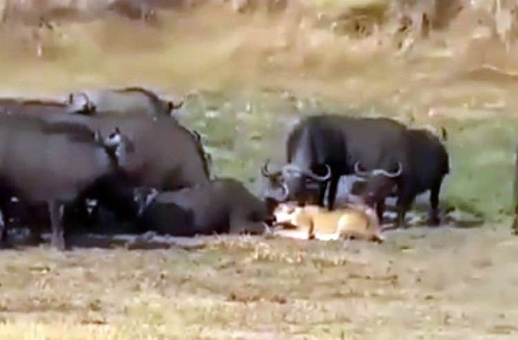 Herd Rescues Buffalo from Lion Attack - Watch