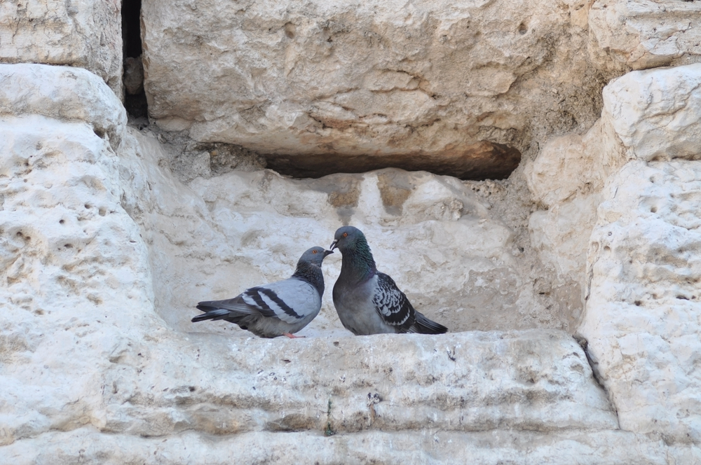 Pigeons At Western Wall / Shutterstock