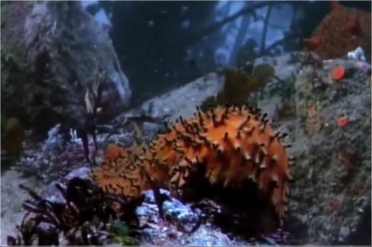 A Day in the Life of a Sea Cucumber
